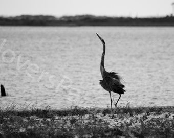 Great Blue Heron Photograph // Black and White Photography // Florida Bird Photo Print