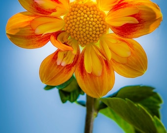 Imperfect Dahlia Flower