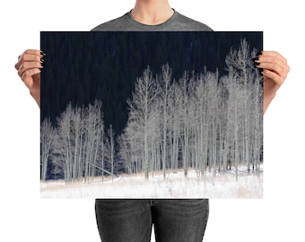 Aspen Grove in Winter - Printed Photograph, Nature Photography, Home Decor, Wall Art, Poster, Birch Trees, Aspen Trees, Landscape Photograph