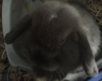 Jared The mini Lop Pictures