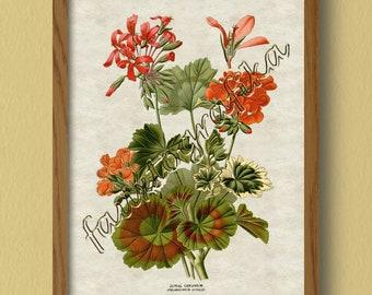Zonal Geranium Print, Geranium, Flower Print, Floral Print, Botanical Print,  Reproduction Print, Vintage Print, Antique Print, Wall Art