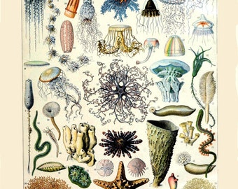 antique french oceanography illustration seashells jellyfishes starfish sand dolars DIGITAL DOWNLOAD