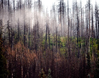 Fog and Trees #3, Jemez Mountains