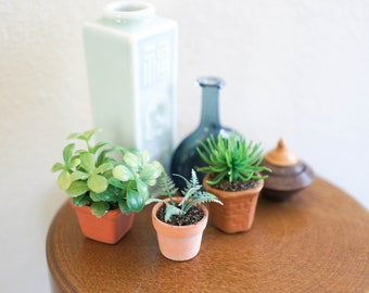 Small Jade Plant in Terracotta Pot