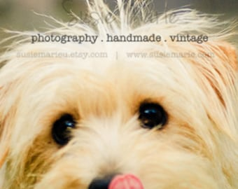 Bella - Scruffy Dog Photograph - Pet Photography, 8x8 print