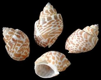 Multiple Quanity Baylonia Spirata shell - FAST and FREE SHIPPING wholesale, wedding, party, thank you, event, name card