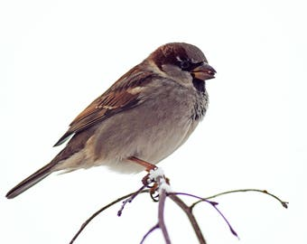 Sparrow eating in the Snow, Snow, Shropshire, Photography Print - 12x8 inches.