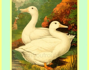 antique victorian poultry illustration white ducks ayersbury print digital download