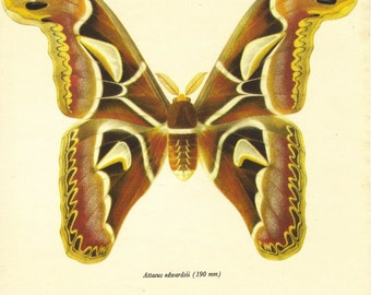 Moth Print, Butterfly Art Print, Home Decor, Natural History, Vintage Illustration to Frame, Entomology, Attacus Edwardsii, A-1