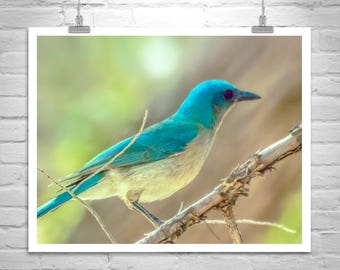 Blue Jay Bird Photography, Bird Art Print, Mexican Jay, Bird Art Print, Avian Art, Art on Canvas, Arizona Birds, Gift for Bird Lover
