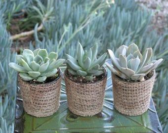 20  Rosettes in Burlap Glass Pots
