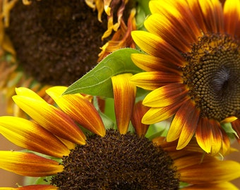 FINE ART PHOTOGRAPHY, Sunflowers, Teddy Bear, Flowers, Floral, Autumn