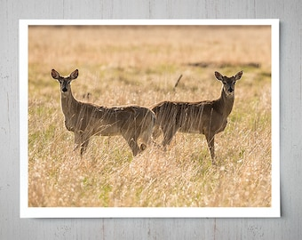 Pair of Deer - Animal Photography, Archival Giclee Print, White Tail Wildlife Photo - Multiple Sizes Available