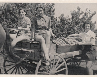 1950s Photographic Postcard Girls In Peach Orchard, Horse And Wagon In Pennsylvania