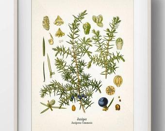 Vintage Juniper Botanical Print - KO-63 - Fine art print of an antique natural history botanical illustration