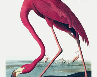 Audubon Birds of America- American Flamingo