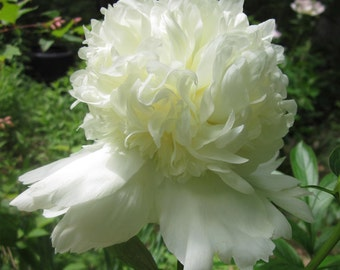 Dry Whole White or Blush Peony Flowers with Long Stems, Organically Grown, Naturally Dried