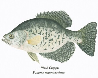 Black Crappie/FISH ILLUSTRATION/ Archival Giclee Print/Natural Science