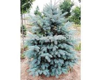 Blue Spruce Seedlings 10 pack
