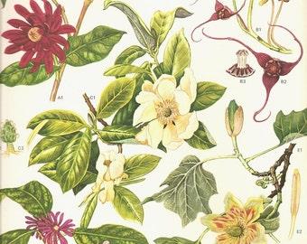 Vintage 1970 Color Art Print Wild Flowers Book PLATE 151 Beautiful Burgundy White Green Magnolia Like Flowers Tulip Tree Ginger Petal Charts