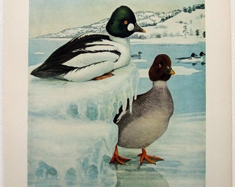 American Golden-Eye Duck - Antique Print by Louis Agassiz Fuertes - From the 1910 Edition of The Birds of New York