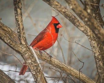 Cardinal photography print, wall art, bird photography, fine art print, 5x7 print