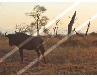 Animal photography - Wildebeest in South African Landscape - Print only - Printed without watermark.Wildlife/dessert/Gift/wall art/wall deco