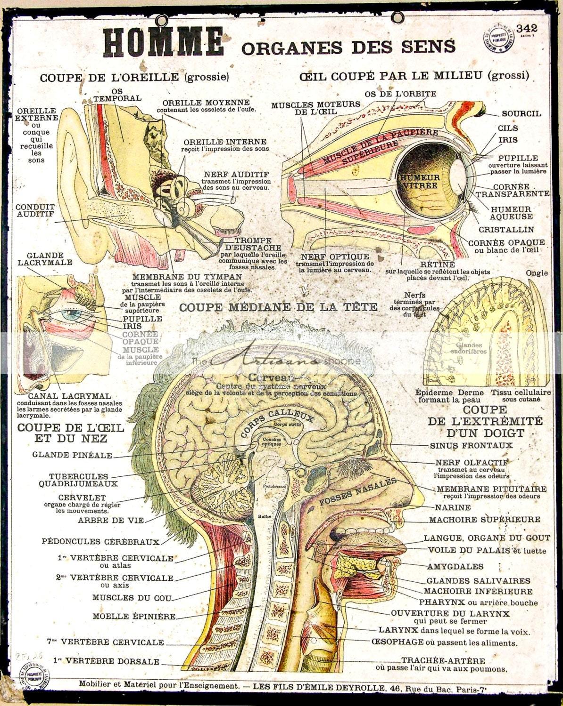 Anatomía cabeza gráfico imagen - Digital descargar instantánea para ...