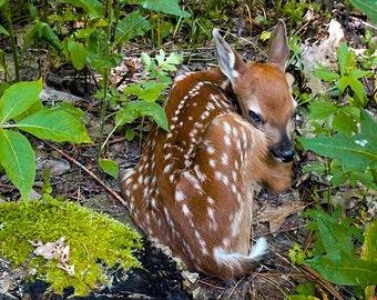 Photograph of Baby Deer,Photo of Baby Animal, Picture of Baby Fawn,Whitetail Deer Photo,Picture of Baby Animal,Baby Deer Photo, Baby Animal