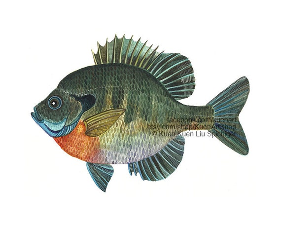 Bluegill Sunfish Art Print Amp Original Freshwater River Fish