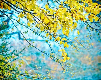 Fall Photography in Blue with Yellow Leaves, Autumn Photo, Colorful Foliage, Nature Photography, Trees, Fall Foliage