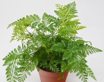 "Rabbit Foot Fern / 4"" Pot  / Live Plant / House Plant / FREE Care Guide"