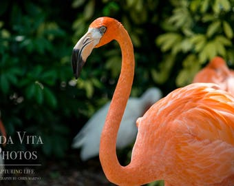 Flamingo Photo, Flamingo Print, Flamingo Photography, Flamingo Wall Art, Bird Photography, Nature Photography, Digital Download