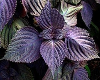 Purple Perilla / Red Shiso, ornamental and edible herb  25 seeds