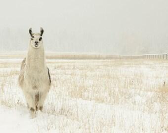 Llama Art work Large Scale Llama photography