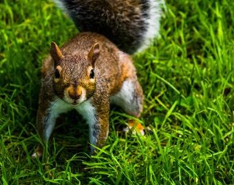 Squirrel in the Public Garden, in Boston, Massachusettts. Photo Print, Metal, Canvas, Framed.