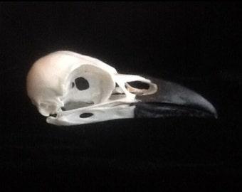 Real Carrion crow bird skull taxidermy gothic weird Curo pagan study skeleton