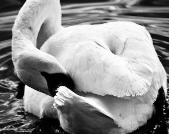 Swan - 5x7 Print