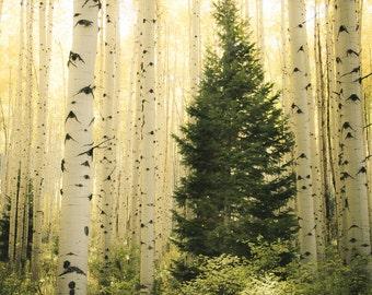 Aspen trees fall, fall tree photo, aspen tree decor, Colorado art, rustic wall decor, log cabin art, fall leaves photo, fall art | Vigilent