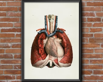 Old vintage Illustrations of Anatomy Anatomy-medical Prints-chest, muscles and heart