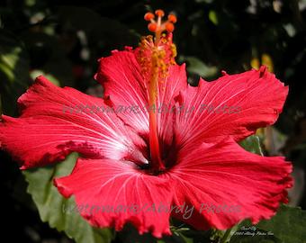 "Photo- Flower - Hibiscus - Red Flower Facing Upwards 10"" x 8"" #2615-20-07"