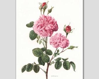 """Rose Art, Vintage Botanical Artwork, Pink Cottage Wall Decor, 1960s Flower Illustration """"Damask Rose"""" No. 2"""
