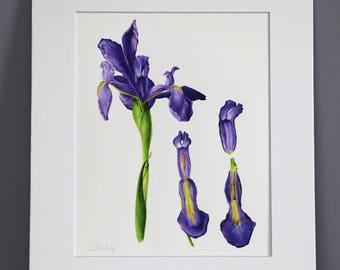 Iris Study, Botanical Art Print
