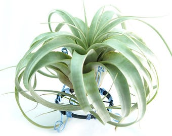 Living Art by Savitri: Tillandsia Air Plant XL Xerographica