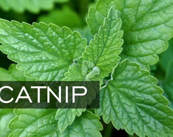 50 + CATNIP Seeds || Perennial Herb Flower Seeds || Natural Bug Mosquito Repellant || NON GMO - Fragrant
