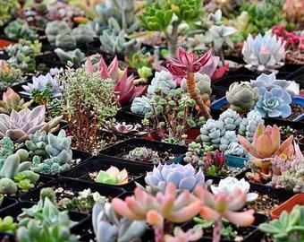 300pcs Mixed Succulent Seeds Lithops Rare Living Stones Pseudotruncatella Bonsai Plants Cactus Flower Seeds Garden Pots Planters Home Plant