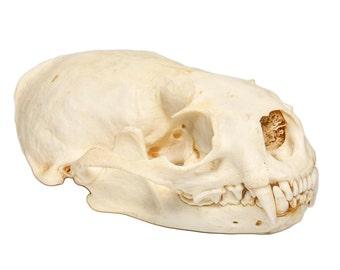 North American River Otter Skull