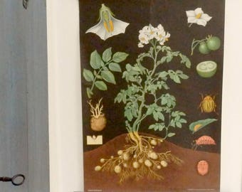 1960'.Vintage Botanical School Chart.POTATO.Signed Jung-Koch-Quentell.Large size:83 x115 cm, 32.4 x45 inches.Very decorative chart.