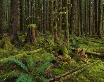An Old Growth Stump In a Mossy Forest, Ferns, Rainforest, Fine Art Photography, Nature Photography, NW, Treescape, Landscape, Wall Art