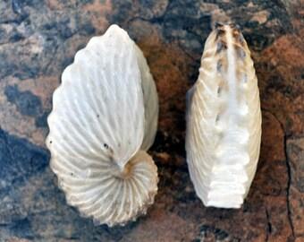"Brown Paper Nautilus Seashell - Very Rare (1.5"") - Argonauta Hians"